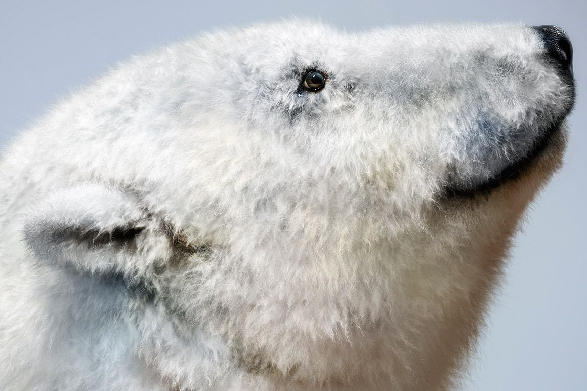 Polar Bear Fur - Realistic fur brushes for Photoshop